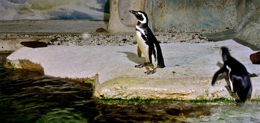 Pinguins, por Edison Veiga