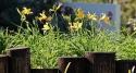 Flores amarelas, por Edison Veiga