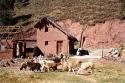 Lhamas, vicunhas, alpacas..., por Edison Veiga