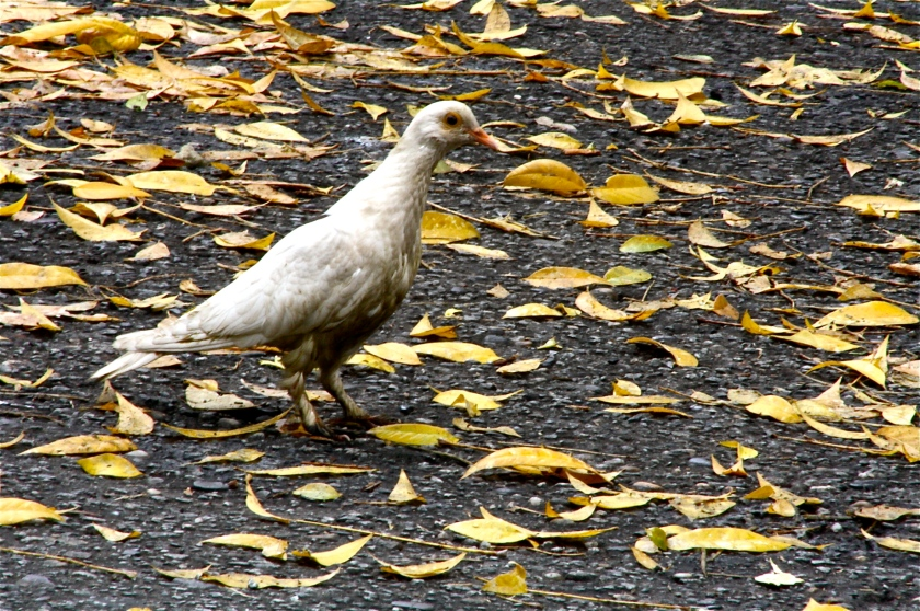 Pobre pombo sujo, por Edison Veiga